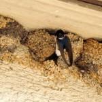 Mehlschwalbe - bei der Fütterung