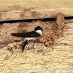 Mehlschwalbe - beim Nestbau (1)