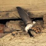 Mehlschwalbe - beim Nestbau (2)